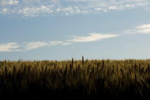 夕日に輝くムギの穂の写真素材 [FYI04876439]