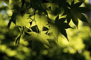 木漏れ日を浴びる緑の木の葉の写真素材 [FYI04876440]