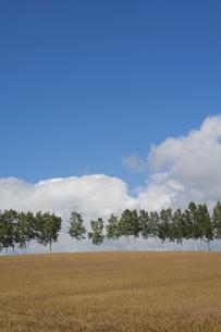 色づいたムギ畑とシラカバ並木 美瑛町の写真素材 [FYI04876449]