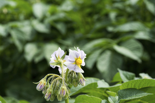ジャガイモの花の写真素材 [FYI04876450]