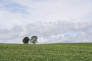 ジャガイモの花が咲いた畑と木立 美瑛町の写真素材 [FYI04876452]