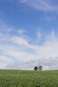 ジャガイモの花が咲いた畑と木立 美瑛町の写真素材 [FYI04876453]