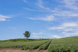 花が咲いた夏のジャガイモ畑と青空の写真素材 [FYI04876454]