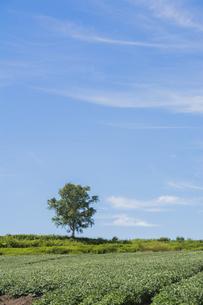 花が咲いた夏のジャガイモ畑と青空の写真素材 [FYI04876455]