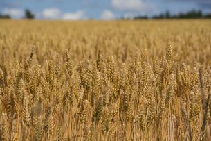 収穫前のムギ畑の写真素材 [FYI04876456]