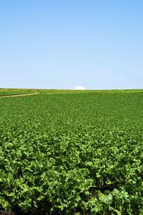 夏の緑の野菜畑の写真素材 [FYI04876458]
