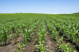 緑のトウモロコシ畑の写真素材 [FYI04876459]