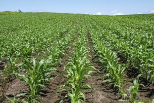緑のトウモロコシ畑の写真素材 [FYI04876460]