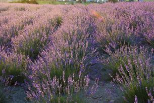 夕日に輝くラベンダー畑の写真素材 [FYI04876461]