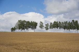 色づいたムギ畑とシラカバ並木 美瑛町の写真素材 [FYI04876462]