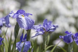 屋外で撮影した花菖蒲画像の写真素材 [FYI04876478]