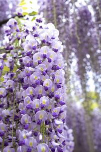 藤の花の写真素材 [FYI04876511]