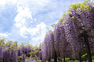藤の花の写真素材 [FYI04876512]