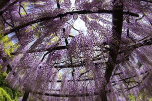 藤の花の写真素材 [FYI04876513]