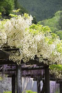 藤の花の写真素材 [FYI04876515]