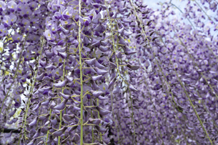 藤の花の写真素材 [FYI04876520]