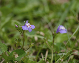 ムラサキサギゴケの花の写真素材 [FYI04876523]