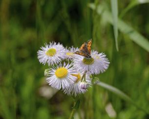 ハルジオンと蝶の写真素材 [FYI04876527]