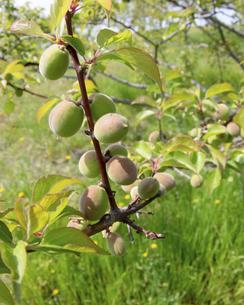 梅の実の写真素材 [FYI04876537]