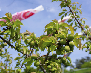 梅の実と鯉のぼりの写真素材 [FYI04876539]