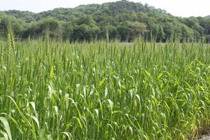 麦の写真素材 [FYI04876548]