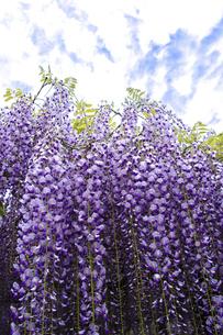 藤の花の写真素材 [FYI04876553]