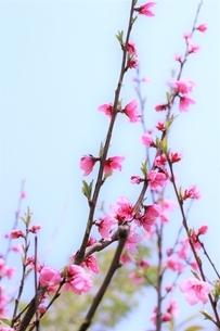 爽春の花桃の写真素材 [FYI04876903]