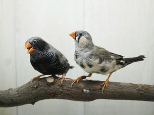錦華鳥ブラックのペアの写真素材 [FYI04876910]