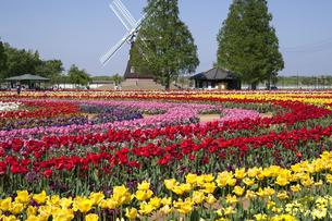 あけぼの山農業公園 チューリップ群落の写真素材 [FYI04877128]