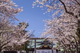 靖国神社 拝殿と桜の写真素材 [FYI04877131]