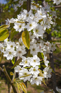 ナシの花の写真素材 [FYI04877144]