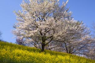 夢の郷の桜の写真素材 [FYI04877198]