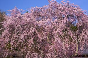光前寺の紅枝垂れ桜、の写真素材 [FYI04877203]