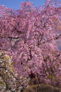 光前寺の紅枝垂れ桜、の写真素材 [FYI04877204]