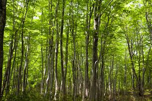 新緑のブナ林の写真素材 [FYI04877207]