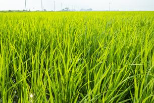 稲作の写真素材 [FYI04877258]