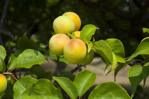 ウメの果実の写真素材 [FYI04877311]