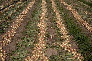 タマネギの収穫の写真素材 [FYI04877331]