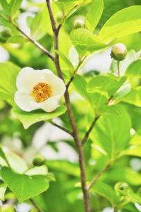 ナツツバキ(沙羅双樹)の写真素材 [FYI04877396]