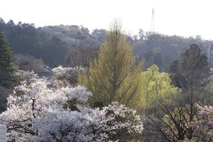 大橋付近から望む青葉城隅櫓付近の桜の写真素材 [FYI04877755]