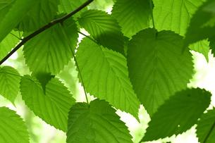 ハンカチノキの葉の写真素材 [FYI04877823]