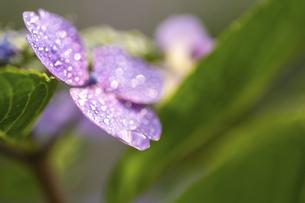 梅雨の晴れ間の紫陽花(ガクアジサイ)の写真素材 [FYI04878020]