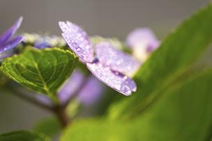 梅雨の晴れ間の紫陽花(ガクアジサイ)の写真素材 [FYI04878022]