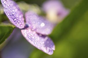 梅雨の晴れ間の紫陽花(ガクアジサイ)の写真素材 [FYI04878023]
