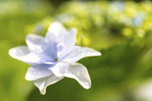 梅雨の晴れ間の紫陽花(ガクアジサイ)の写真素材 [FYI04878026]