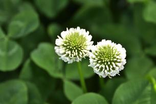 クローバー(シロツメクサ・白詰草・マメ科・常緑多年草)の白色の花の写真素材 [FYI04878186]