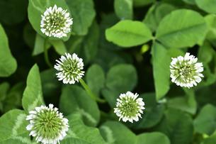 クローバー(シロツメクサ・白詰草・マメ科・常緑多年草)の白色の花の写真素材 [FYI04878191]