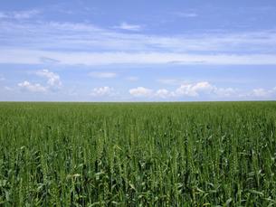 緑の麦畑と青空の写真素材 [FYI04878315]