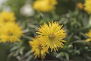 花 午後3時頃に開花する黄色の三時草の写真素材 [FYI04878487]