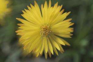 花 午後3時頃に開花する黄色の三時草の写真素材 [FYI04878488]